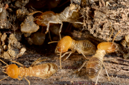 Image of termites and termite damage